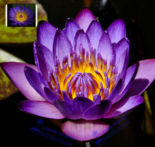 5 Professional Packs, 1 Seeds/pack, Purple Nymphaea Caerulea Asian Water Lily Pad Flower Pond Seeds# LT643