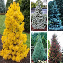 30Pcs Yellow/Blue Spruce Seeds Tree Seeds Rare Evergreen Colorado PICEA PUNGENS GLAUCA Flower Pot Planters For Home Garden Decor