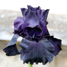 Black Tall Bearded flag Iris,  perennial garden  flower , rare color , heat resistant, attractive ,5 pcs