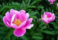 Herbaceous Peony Seed 6 Seeds Of Each Pack Paeony Paeonia Lactiflora Flower Garden Seeds A155