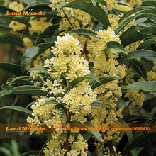 10 Seeds / Pack, Strongly Fragrant Tea Olive Osmanthus fragrans for Home Garden Flower Bonsai, over 95% Germination Rate