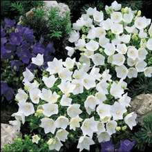 Bellflower (Campanula Carpatica White) Imported Seed 20 Grains Dwarf Perennial Herbaceous Flower