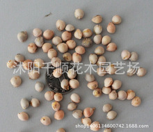 Import and export of high-quality seed seed cherry red cherry seed American cherry seeds can be to pay 200g/lot