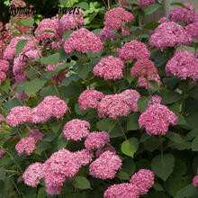 Free Shipping 50 Particle/bag Pink Hydrangea Flower Seeds, Very Beautiful Diy Evergreen Woody Flowering Long Hydrangea