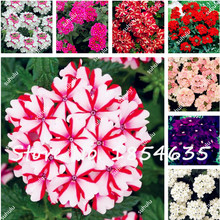 100 Pcs Verbena Seeds Indoor Plants Flowers Garden Heirloom Seeds Bonsai Plants Seeds Balcony or Courtyard Perennial Flower(China)