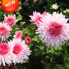 Big Promotion!100 pcs/bag Beautiful Hot Pink White Color Chrysanthemum Seeds Morifolium Seeds DIY Gardening Flower Plant,#BIHIWW(China)