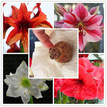 Big Sale!!!True Amaryllis Bulbs Indoor&Outdoor Potted Flowers plants,flower bulbs Survival Rate is High (not seeds) -1 bulbs