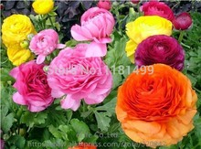 50 PCS Ranunculus Asiaticus Flower Seeds For Home & Garden DIY Plants Persian Buttercup Seed Flower Bulbs Free Shipping