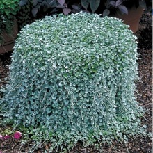 Dichondra Repens lawn seeds money grass hanging decorative garden plants do flower seeds for Home garden 200pcs/ lot(China)