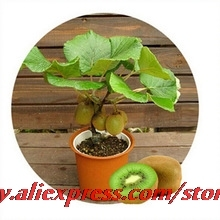 Promoting !Bonsa Kiwi fruit seeds,Potted plants,MIN tree Nutrition is rich, beautiful,Bonsai,Vegetable melon seed - 100seeds/bag(China)