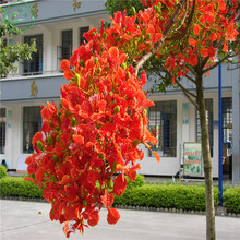 POINCIANA seeds Authentic imported U.S. seed autumn flame maple tree seeds seedlings and technical guidance to ens 5pcs w69(China)