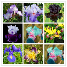 50 / pack pink iris seed, popular perennial garden flower, cut flowers gorgeous rare orchid seeds home garden planting(China)