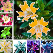 100 Pcs 24 Colors Lily Seeds,Cheap Perfume Lilies Seeds, Rare Color Flower Garden Plants Semenatsvety Perennial Garden(China)
