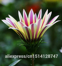 Flower seeds Gazania rigens, potted flowers gazania seeds, sunflowers Africa,about 50 particles