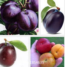 Garden Plant 20  Plum seeds fruit Seeds for home garden bloom in winter,beautiful sprouting 95% free shipping Bonsai Seed