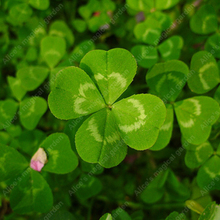 Clover Seeds Lucky Grass Fragrant Lawn Groundcover for home garden planting 100% true seeds 100 pcs / bag