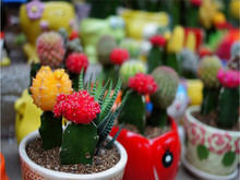 free ship Mixture Of Cactus Seeds ,Echinopsis Flower Seeds, High Germination - 40 Seed particles