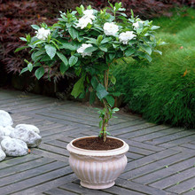10 pcs/bag jasmine seeds beautiful bonsai flower seeds pure white Jasmine plant in pot indoor plants for home garden(China)