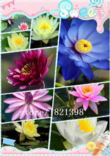 5 seed / pack, Purple Nymphaea Caerulea China Water Lily Pad Flower  Seeds