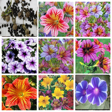60 Pieces Seeds Salpiglossis Seeds Chile Morning Glory Seeds Balcony Potted Plants Ipomoea Nil Flowers for Rooms