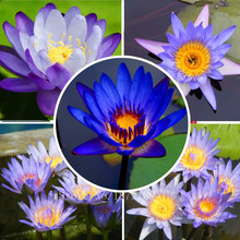 bonsai BLUE LOTUS SEEDS Nymphaea Caerulea Asian Water Lily Pad Flower Pond Seeds garden decoration plant free shipping 10pcs F14