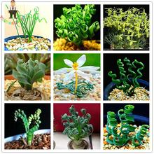 200pcs Sin Mankind Plants Broad Leaf Spring Grass Seeds Succulents 2017's New Perennial Plant Seed For Garden Bonsai Sementes .