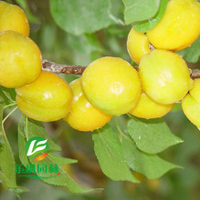 Apricot apricot tree apricot trees apricot seed small seed tender mouthwatering varieties planted 5 seeds / pack