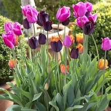 2 Pcs Real tulip Flower Seeds Bulbs potted flowers seeds for balcony