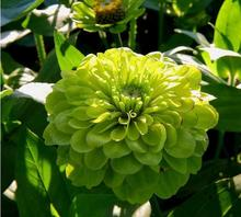 50 Seeds/Bag Zinnia Seeds Beautiful Green Apple Zinnia Flower Seed Balcony Courtyard By Flowers Potted Bonsai(China)