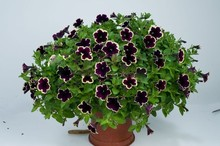 Cascadia Rim Magenta Petunia Dark Purple Blooms With a Cream Edge Flower Seeds For Home Bonsai Plants for Decoration--100seeds