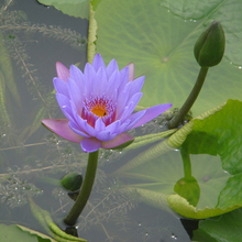 1 Professional Pack, 40 Seeds / Pack,  Purple Nymphaea Caerulea Asian Water Lily Pad Flower Pond Seeds #NF160