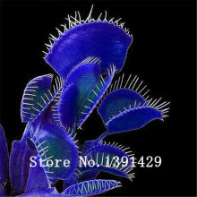 HOT Sale100PCS Potted blue Insectivorous Plant Seeds Dionaea Muscipula rare Venus Flytrap bonsai Seeds