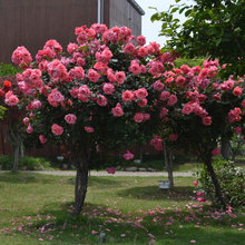 Pink Chinese Lovely Rose Seeds Beautiful Flower And Easy To Grow Ideal Diy Garden Dec Free Shipping. 100 Particle / Bag