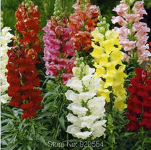 500pcs/lot Antirrhinum majus seeds Common snapdragon flower Seed bonsai plant DIY home garden free shipping