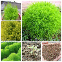 200 pcs / BAG summer cypress seed, Kochia broom seedlings peacock pine seed, air purify, bonsai pot plant for home decoration(China)
