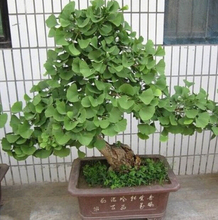 5 pcs / bag,Ginkgo seeds, potted seed, flower seed, variety complete, the budding rate 95%  2017