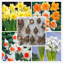 Hot sale!!! Rare Narcissus Bulbs,Free shipping cheap perfume Narcissus Bulb, mixing different color - 1 Narcissus Bulb home