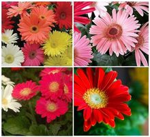 100seeds/pack CALIFORNIA GIANT GERBERA DAISY FLOWER SEED MIX / PERENNIAL Best Little Garden bonsai home plant easy grow