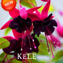 Hot Sale!Purple Double Petals Fuchsia Seeds Potted Flower Seeds Potted Plants Hanging Fuchsia Flowers 50 PCS/Lot,#QS1EPX(China)