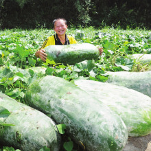 50 PCS Big melon seeds Benincasa hispida farm China  wax gourd vegetable seeds for home garden