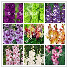 5PCS Colorful bonsai gladiolus bulbs, sent at random (not gladiolus seeds) The most beautiful plant(China)