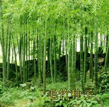 2017 new seeds, freshly picked selection of bamboo seeds for DIY home garden Household items ,Luo Han bamboo(China)