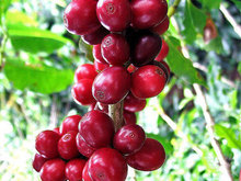 Pure Arabic Coffee Bean Seeds, Fresh Arabica Coffea Tree Seeds - 100% Natural Coffee Bean Seeds Packet