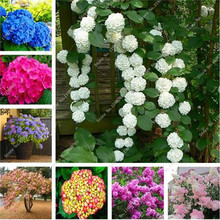 150 Pcs Hydrangea Seeds,Colorful Climbing Hydrangea Flower Seeds,Exotic Flower Bonsai Plant Seeds for Home Garden Decoration