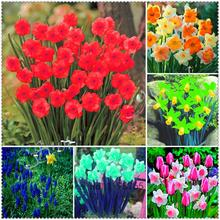New Arrival 200 pcs/bag Daffodil Seeds Absorption Radiation Narcissus Flowers,bonsai plant for home garden(China)