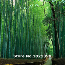 GGG Free shipping 50 fresh giant moso bamboo seeds for DIY home garden Household items(China)