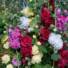 20 seeds/pack A variety of colors hollyhock seeds,rare bonsai flower seeds Home & Garden ornamental flowers, easy to grow