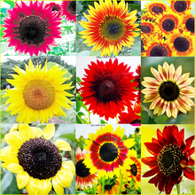50pcs Sunflower Seeds 9 kinds of Sun Fortune Bloom Garden Bonsai Plants jardin beautiful flowers Easy To Grow Free Shipping