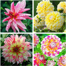 120Pcs Dahlia Flower Dahlia Seeds Charming Bonsai Flower Seeds (Not Dahlia Bulbs) Perennial Flowers Home Garden Potted Plant