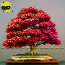 Red Japanese Ghost Maple Tree Bonsai Seeds, 10 Seeds/Pack 100% Real Acer palmatum atropurpureum Bonsai SOW ALL YEAR(China)